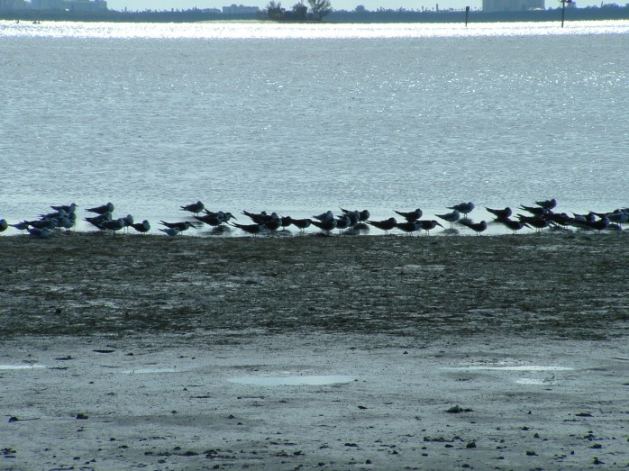 black skimmers and assorted terns