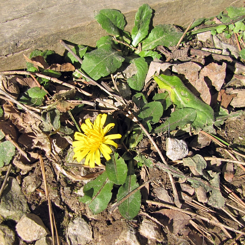January Dandelion