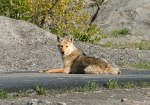 Sunning Coyote Sunning Coyote Photo by Richard Spencer